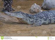 Female Nile Crocodile
