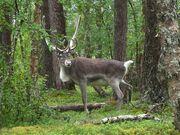 Finnish Forest Reindeer.jpg