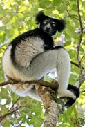 Indri (V2)