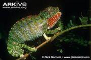 Labord's chameleon.jpg