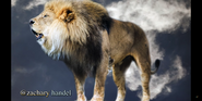 Louisville Zoo Lion