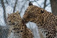 Male and female Persian leopards