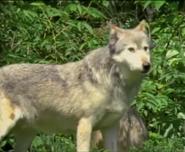 Mama Mirabelle Wolf