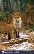 Red Fox, European