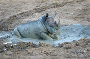 Rhino-in-the-mud-jennifer-ludlum