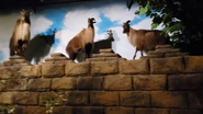 Rolling Hills Zoo Markhors