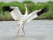 Siberian crane (Grus leucogeranus)