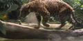 Singapore Zoo Jaguar