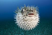 Spotted-porcupinefish-iii-dave-fleetham.jpg