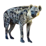 Spotted Hyena (Render)
