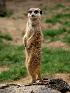 Southern Meerkat