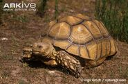 Tortoise, African Spurred