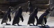 Woodland Park Zoo Penguins