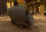 Brevard Zoo Armadillo