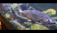 Cleveland Zoo Trout