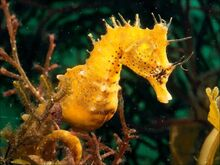 Cool-hd-seahorse-wallpaper-1440x1080.jpg