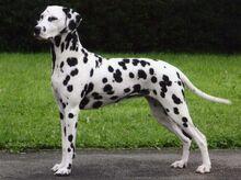 Dalmatian-05.jpg