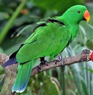 Eclectus Parrot (Male)