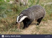 European Badger (V2)