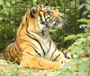 Fort Wayne Children's Zoo Tiger