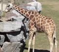 Fresno Zoo Giraffe
