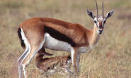 Gazellecub