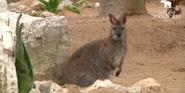 Lisbon Zoo Wallaby