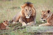 Masai Lion, Lioness and Cub