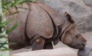 Rhinoceros san francisco zoo