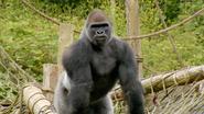 The Zoo Gorilla