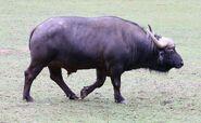 AfricanBuffalo