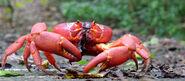 Crab, Christmas Island Red