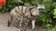 Hyena, Aardwolf