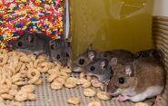 Mischief of Mice