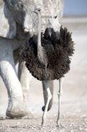 Ostrich, Southern (V2)