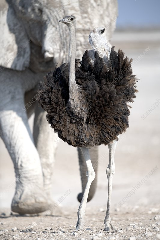 Southern Ostrich