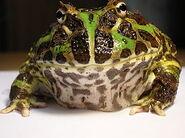 Pacman Bullfrog