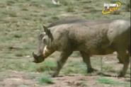 Scout's Safari Warthogs