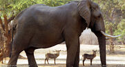Antelopes and Elephant