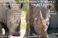 Black-rhino-vs-white-rhino-heads1