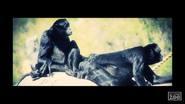 El Paso Zoo Siamangs