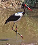 Ephippiorhynchus senegalensis -Kruger National Park, Limpopo, South Africa-8
