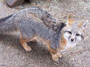 Grey fox (Urocyon cinereoargenteus)