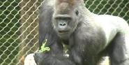 Milwaukee County Zoo Gorilla