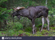 Moose, Eurasian Elk.jpg