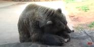 Oklahoma City Zoo Grizzly