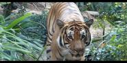 San Diego Zoo Tiger