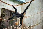 Spider monkey, black-headed