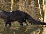 Marsh Mongoose
