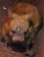 Brookfield Zoo Wombat